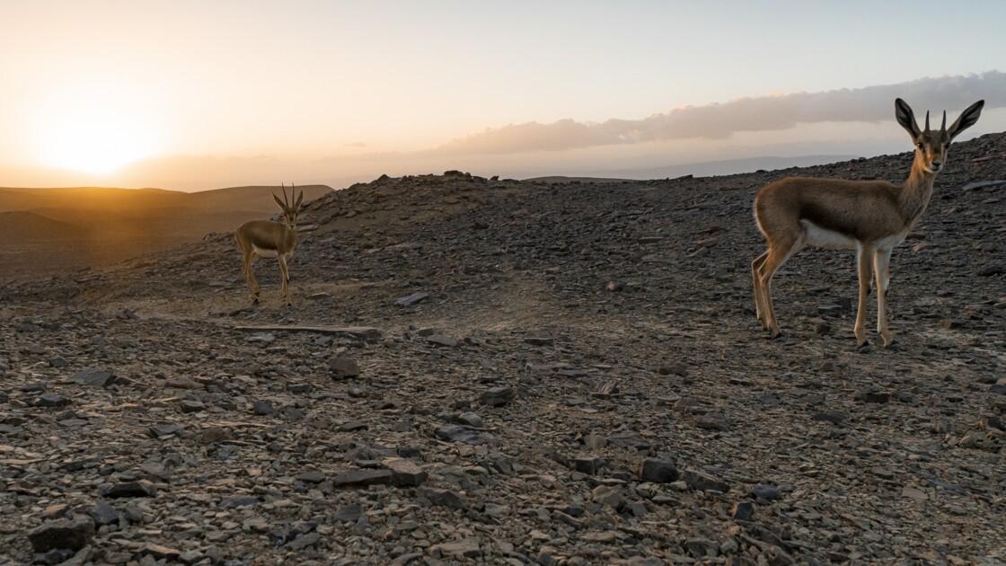 Gazelles de Cuvier, renards des sables... Ces animaux extraordinaires du Sahara
