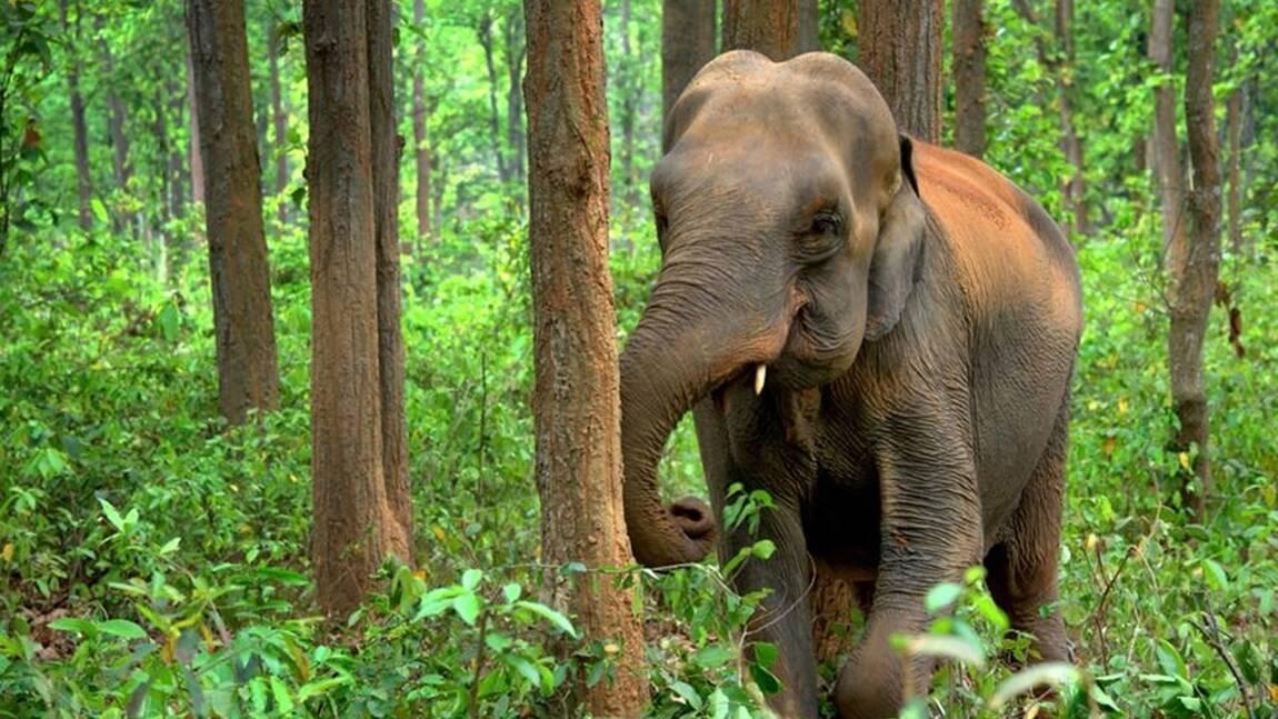 Les 5 infos à savoir sur l'éléphant d'Asie