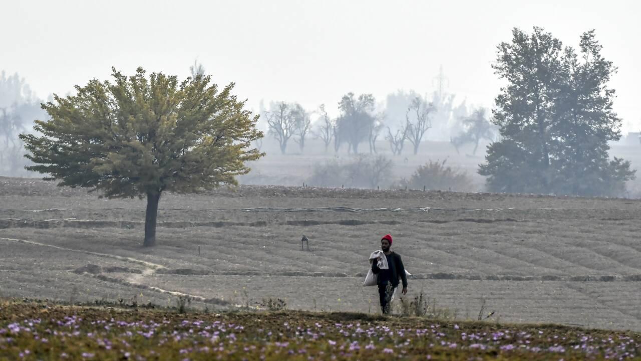"""Le safran, """"or rouge"""" du Cachemire, victime du changement climatique et de la guerre"""