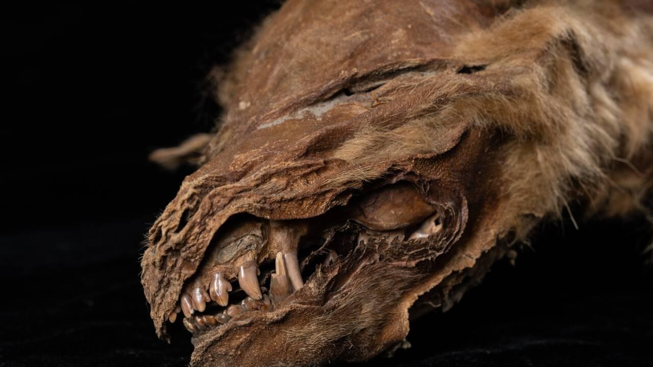 Un louveteau vieux de 57000 ans découvert très bien préservé au Canada