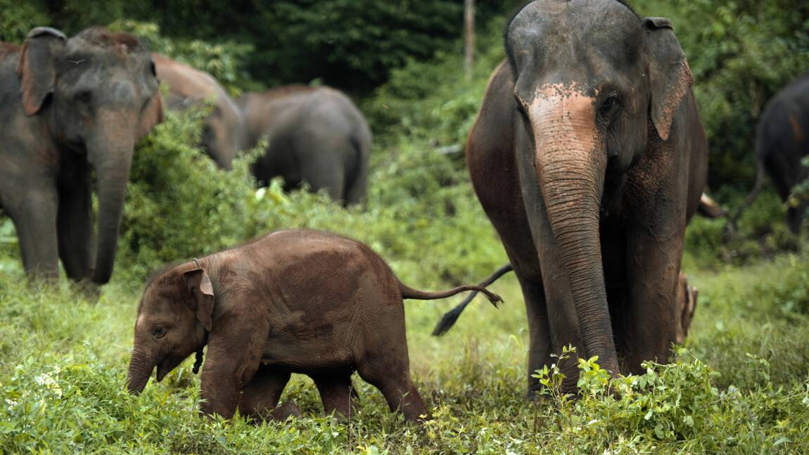 Un Thaïlandais sauve un éléphanteau accidenté en lui faisant un massage cardiaque