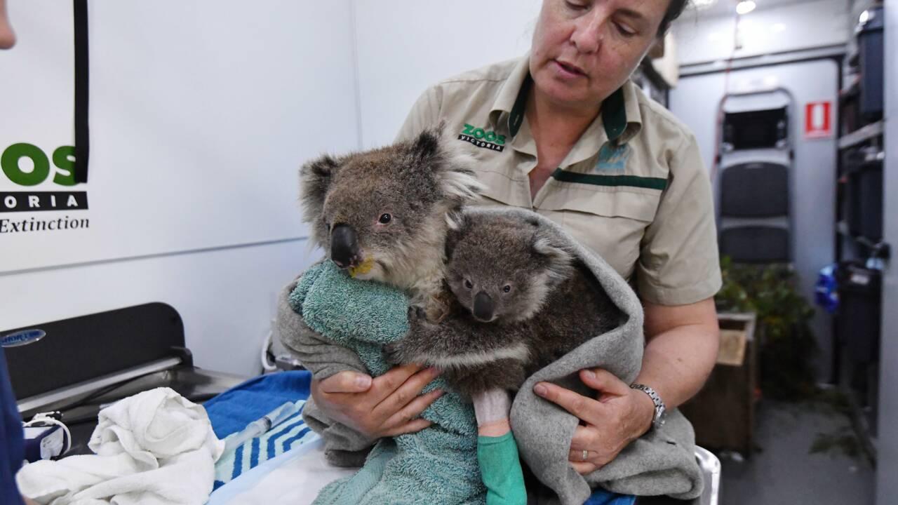 Incendies en Australie : un an après les terribles feux, que reste-t-il de la faune sauvage ?