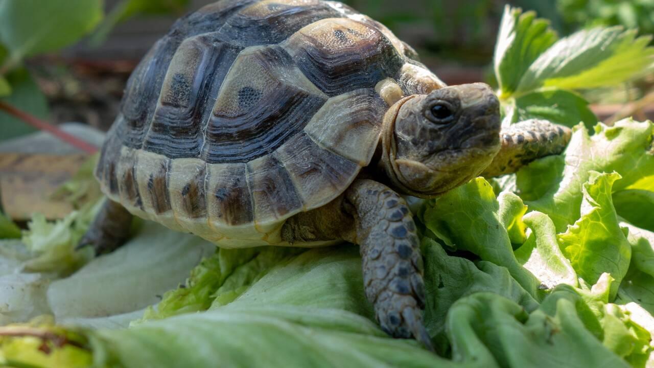 Les 5 infos à savoir sur la tortue terrestre