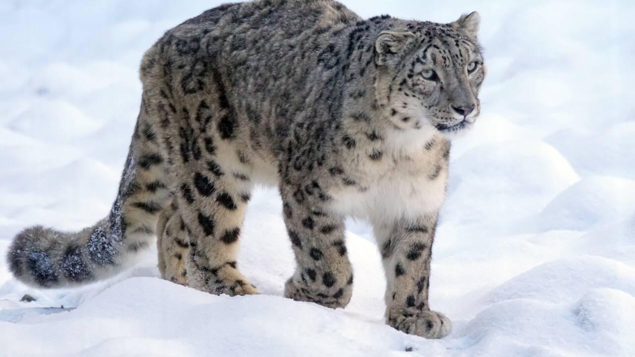 Les 6 infos à savoir sur la panthère des neiges