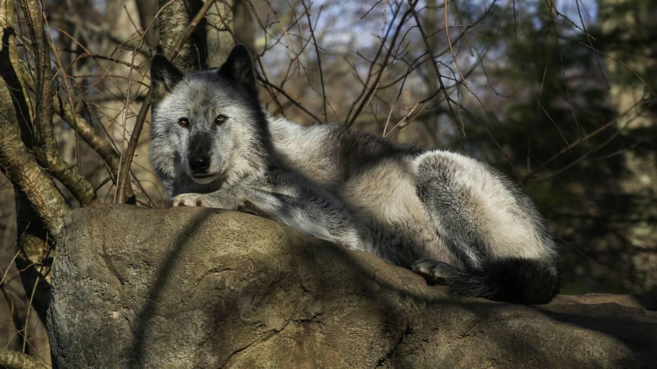 Aux États-Unis, les loups risquent d'être aux abois à cause de Trump