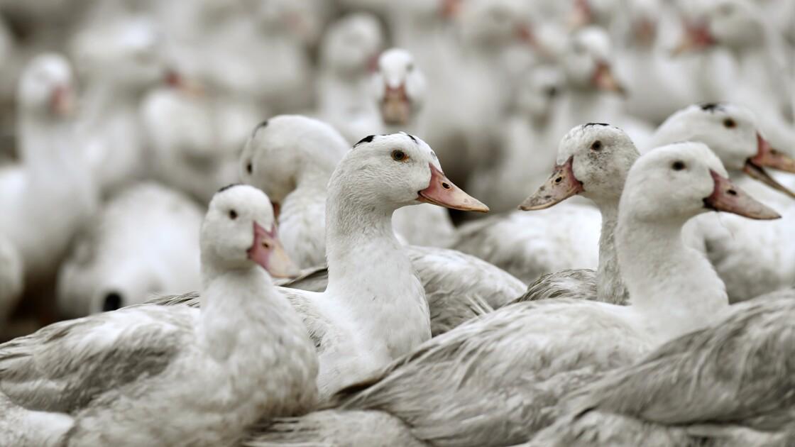 Face à la grippe aviaire, la filière canards des Landes se mobilise