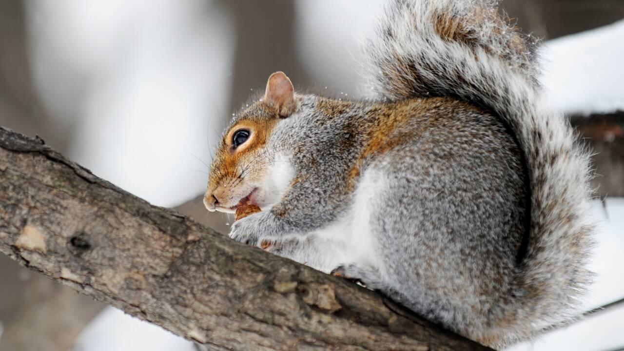 Les New-Yorkais victimes d'écureuils agressifs