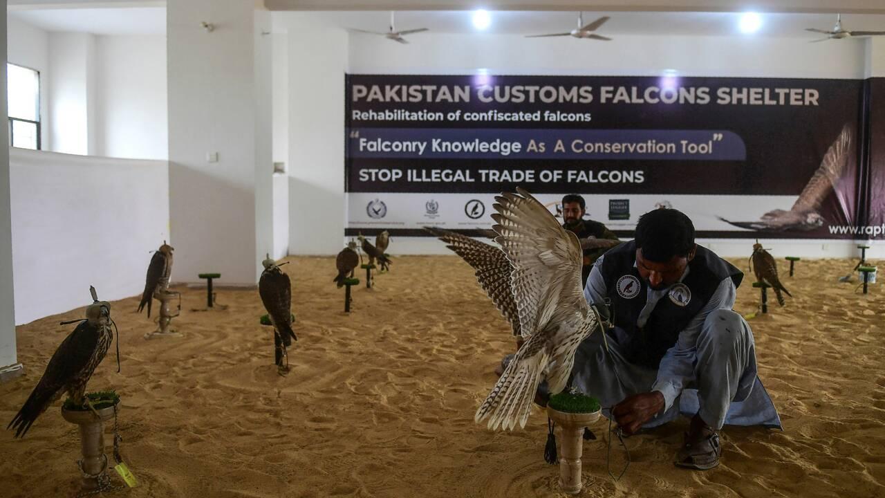 Au Pakistan, le trafic de faucons alimenté par la demande des pays du Golfe