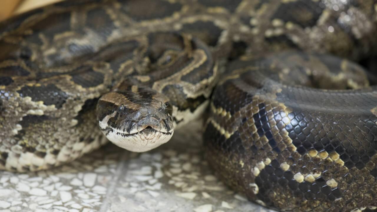 Floride : la consommation de pythons bientôt encouragée pour contrôler l'espèce invasive ?
