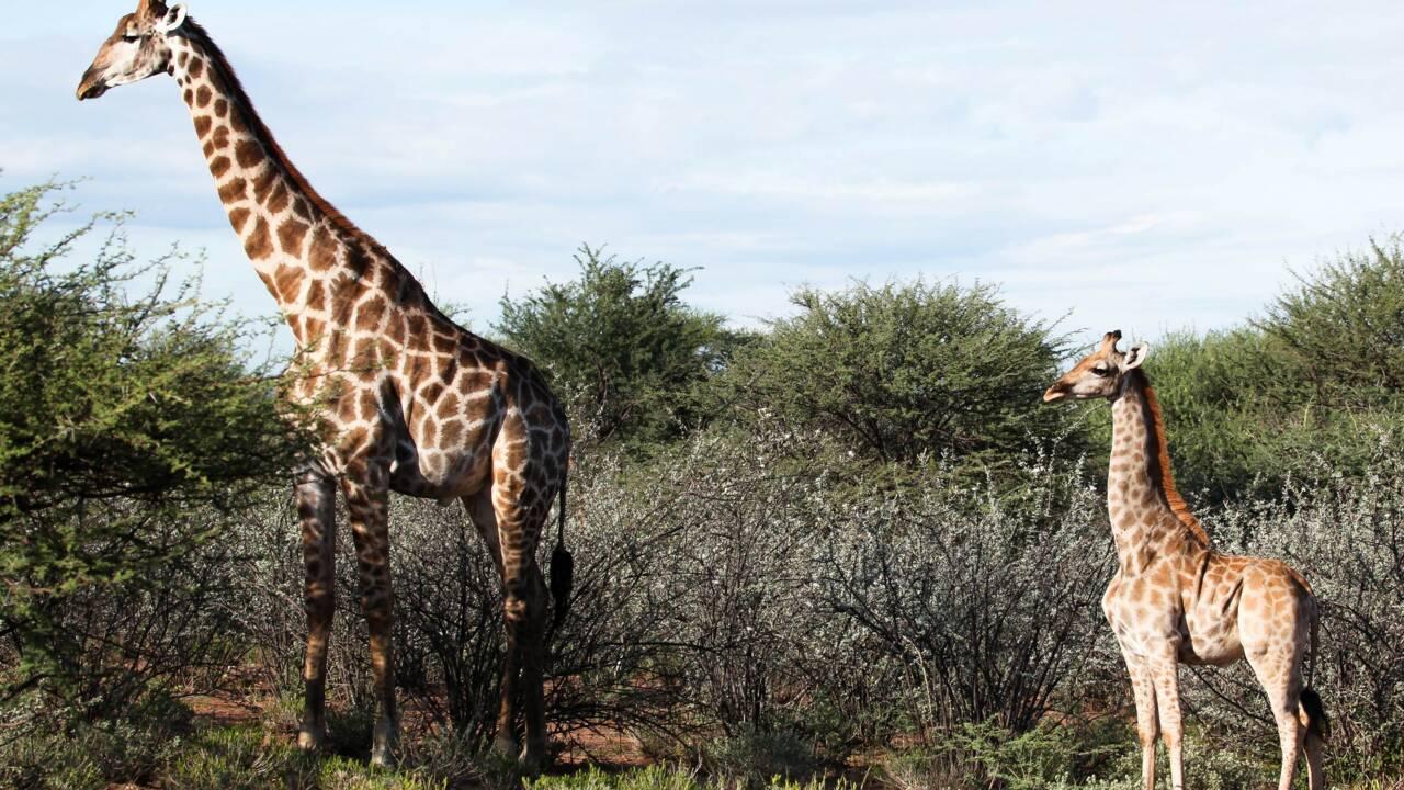"""Deux girafes """"naines"""" observées pour la première fois en Ouganda et en Namibie"""