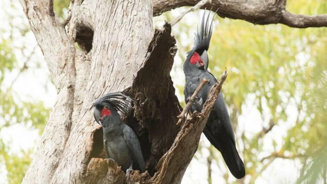 Le cacatoès noir, cet oiseau qui fait des percussions pour séduire ses partenaires