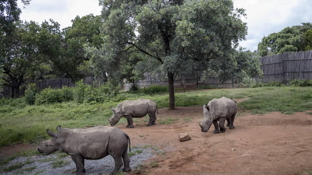 En Afrique du Sud, un orphelinat requinque les bébés rhinocéros