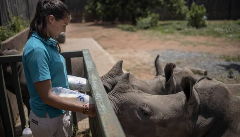 En Afrique Du Sud Un Orphelinat Requinque Les Bebes Rhinoceros Geo Fr