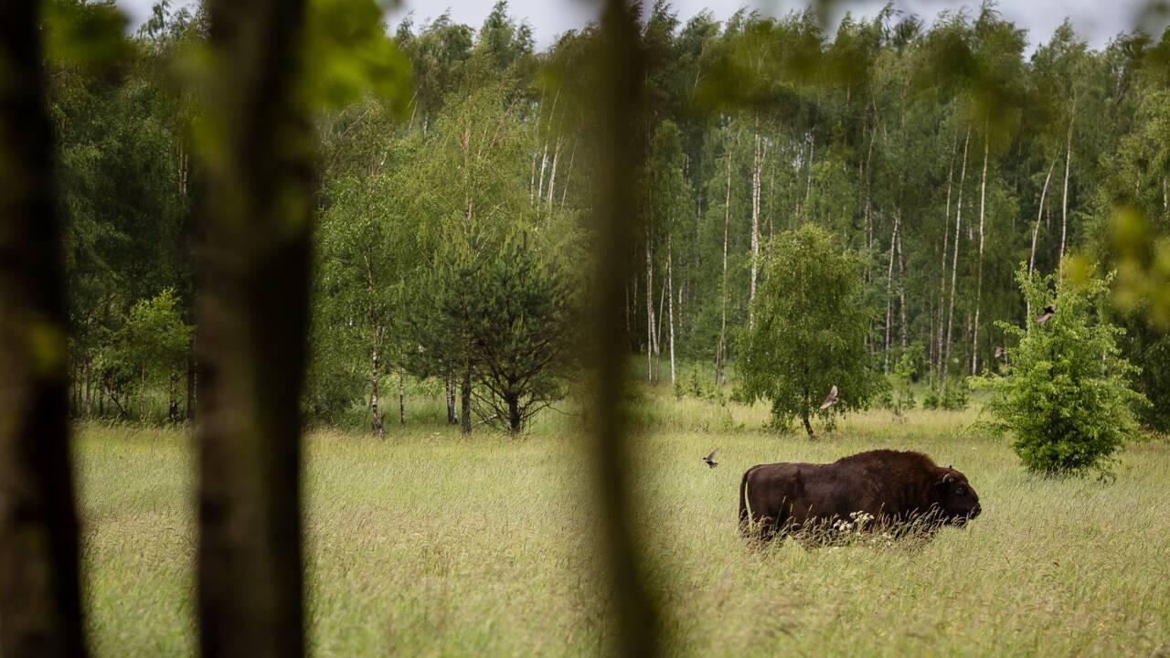 Les écologistes polonais dénoncent la reprise des coupes dans la forêt primaire de Bialowieza.