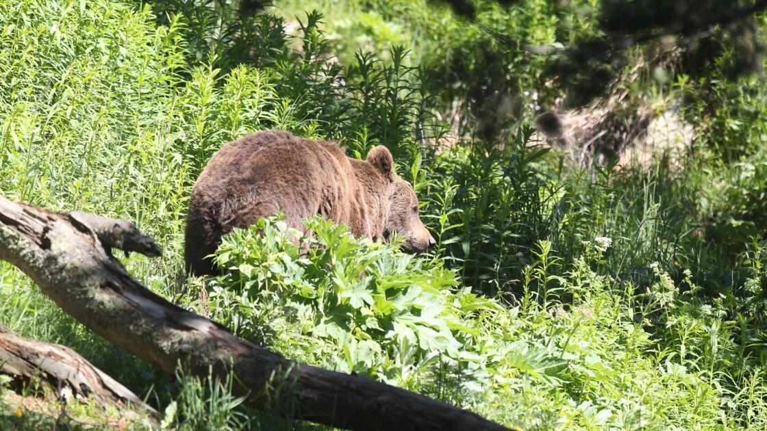 Le nombre d'ours dans les Pyrénées en 2020 augmente