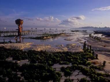 Indonésie : La culture d'algues marines à Nusa Lembongan