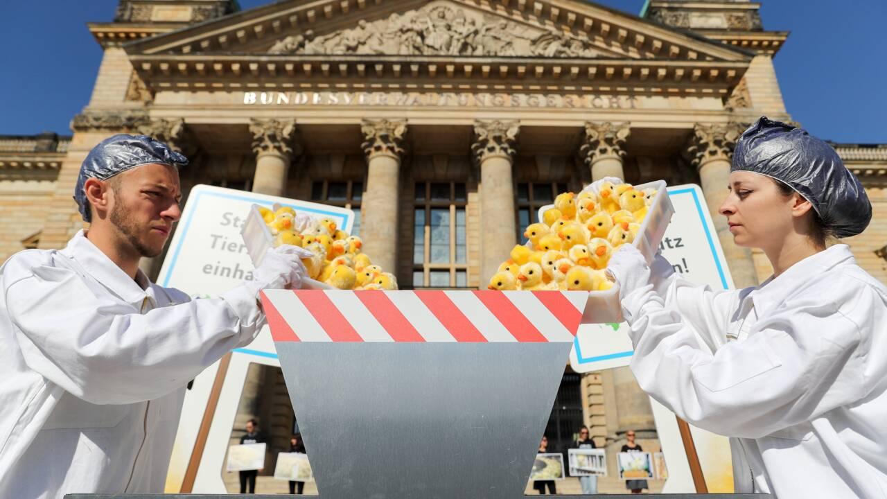 Elevage : le broyage des poussins mâles bientôt interdit en Allemagne
