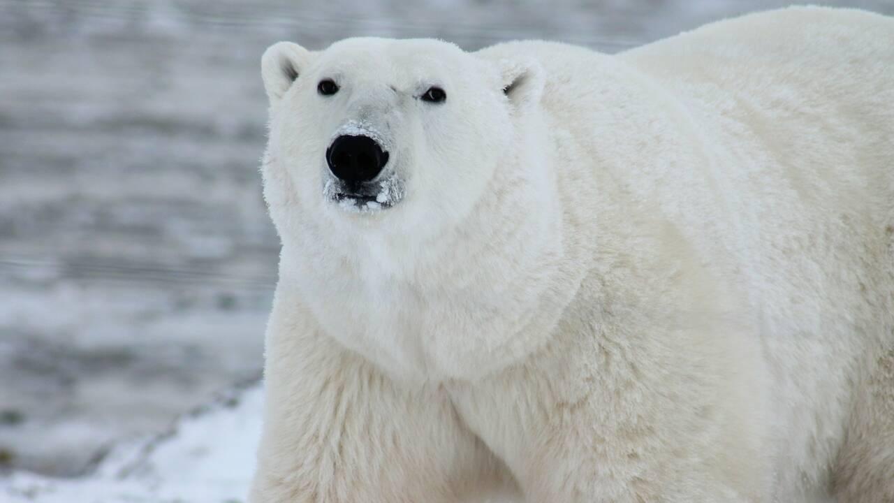"""Un ours blanc injustement classé """"à problèmes"""" au Groenland"""