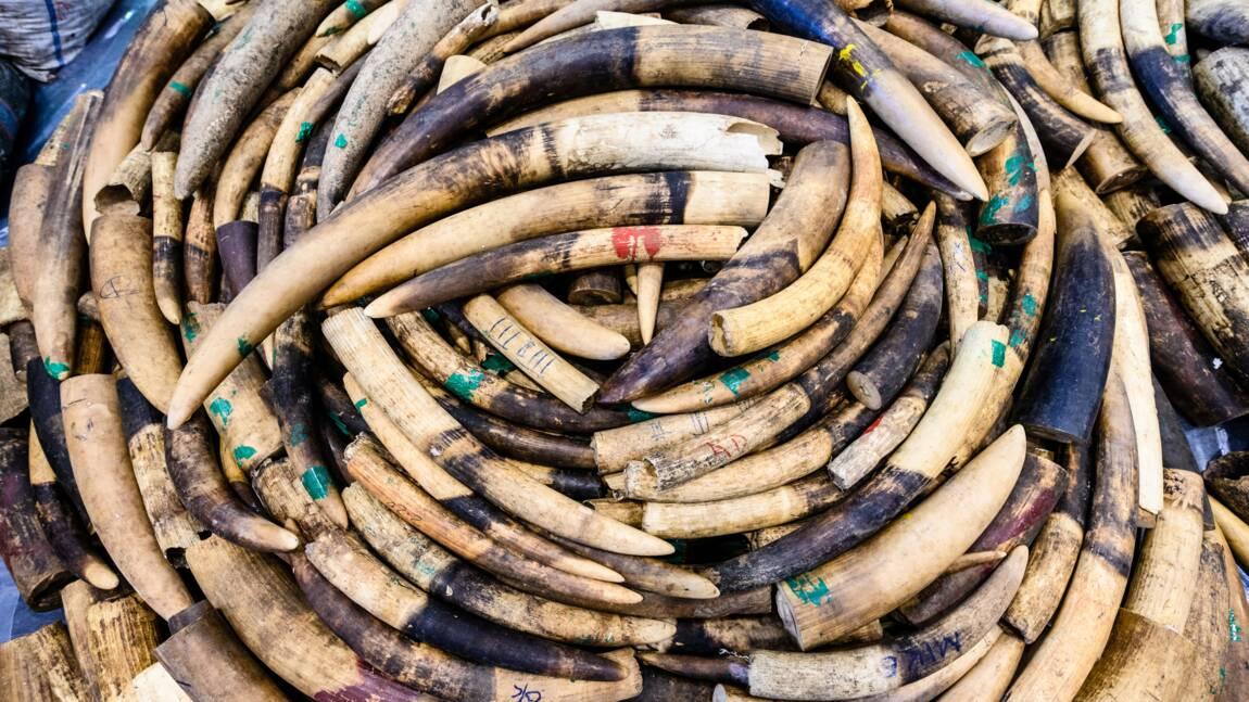 Un réseau de trafiquants d'ivoire vers l'Asie condamné