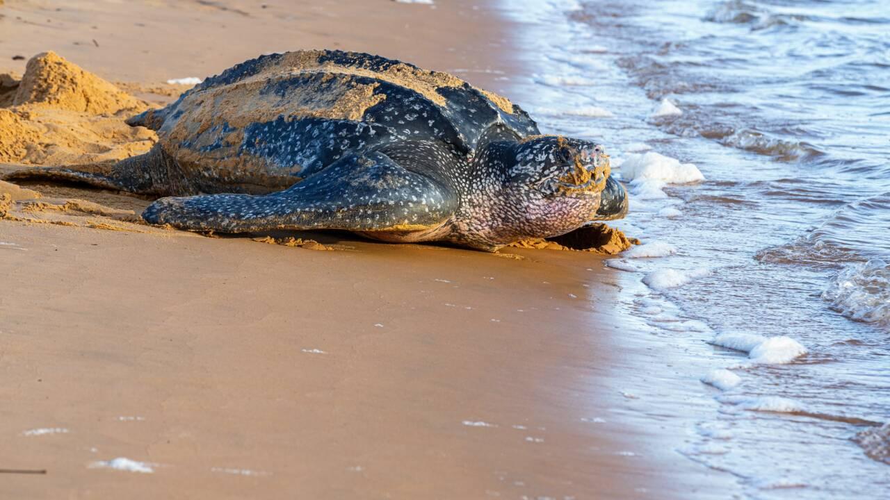 Espèce menacée : naissance de neuf tortues luth en Equateur
