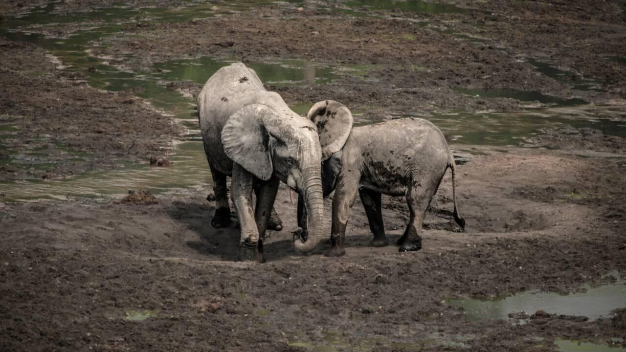 L'éléphant de forêt d'Afrique en danger d'extinction