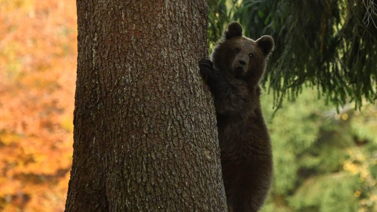 Un ourson sauvage en cavale plusieurs heures en banlieue de Montréal