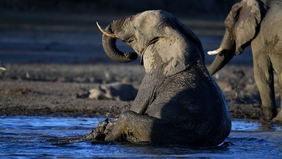 Les satellites à la rescousse des éléphants d'Afrique