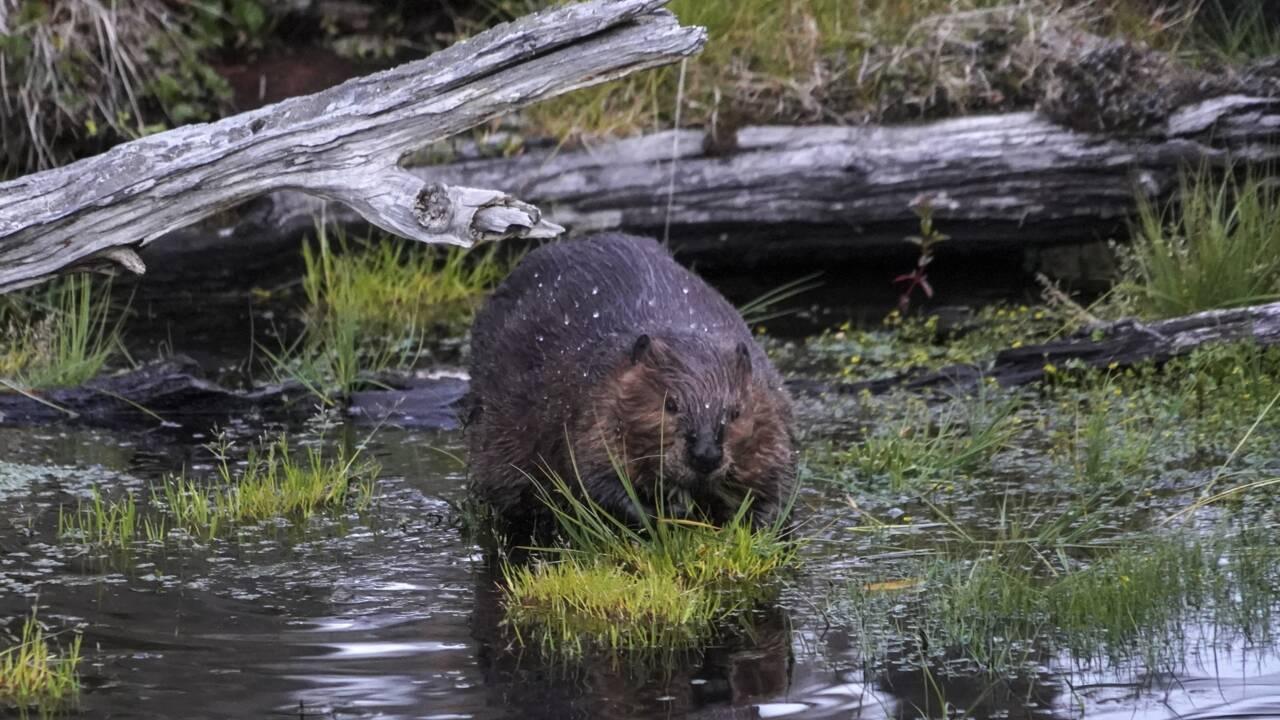 Au Chili, les castors ravagent le poumon végétal de la Terre de Feu