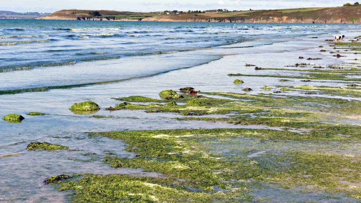 Algues vertes: baisse des échouages en Bretagne en 2020