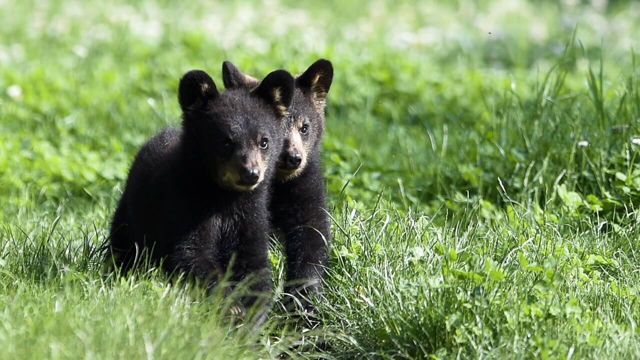 Trois oursons nés dans le Béarn, une première depuis 50 ans