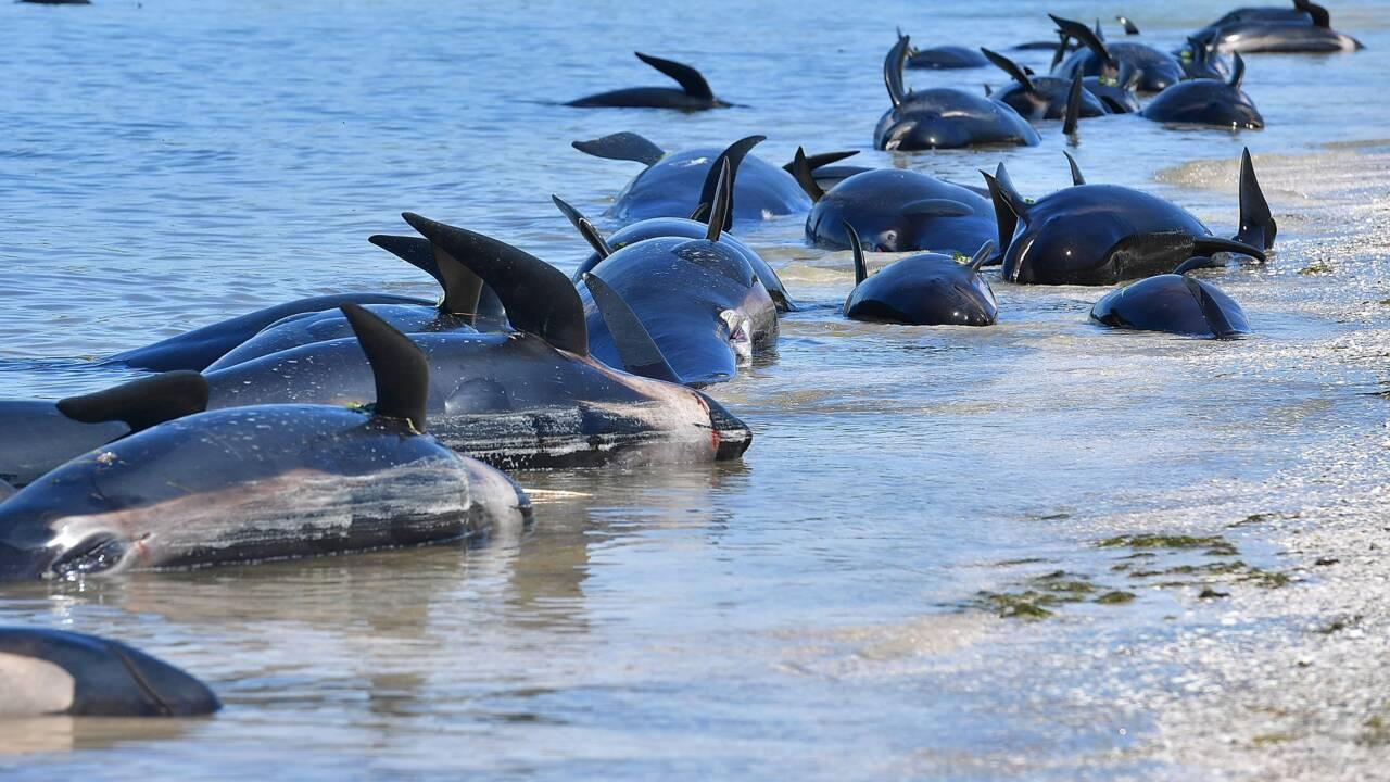 """Des dizaines de """"dauphins-pilotes"""" échoués en Nouvelle-Zélande"""