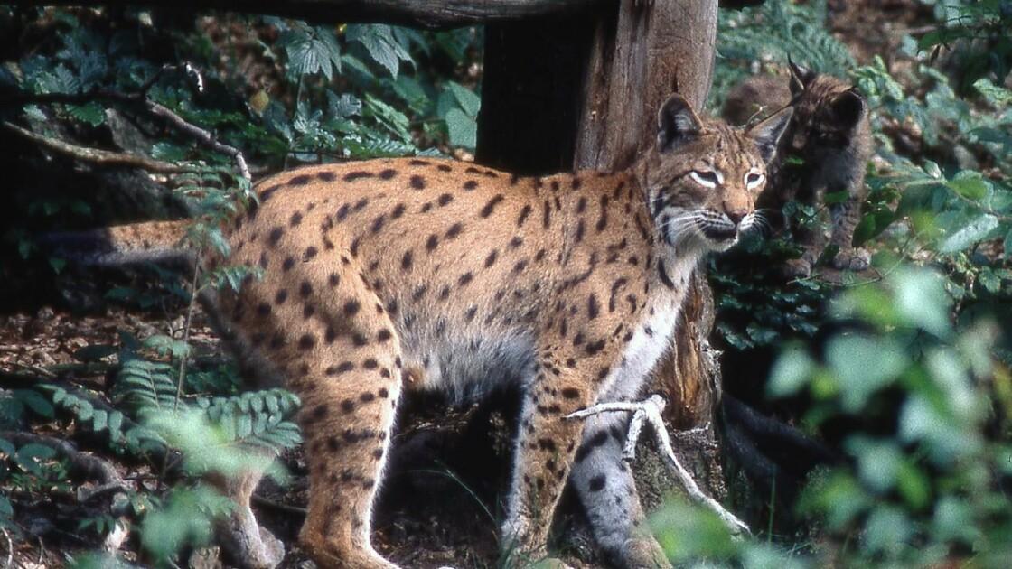 Lynx: 1.000 euros de récompense pour retrouver un braconnier
