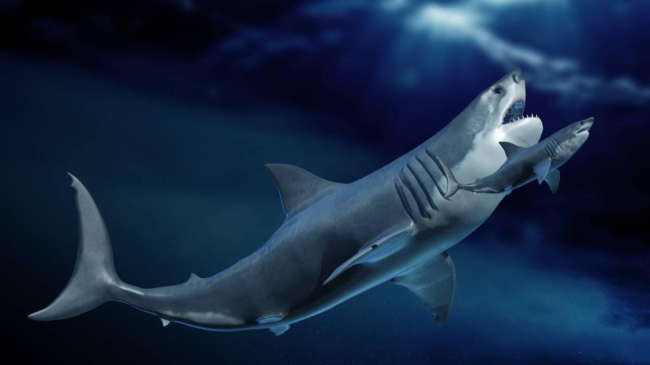 Mégalodon : un requin géant dont les bébés étaient plus grands que des humains