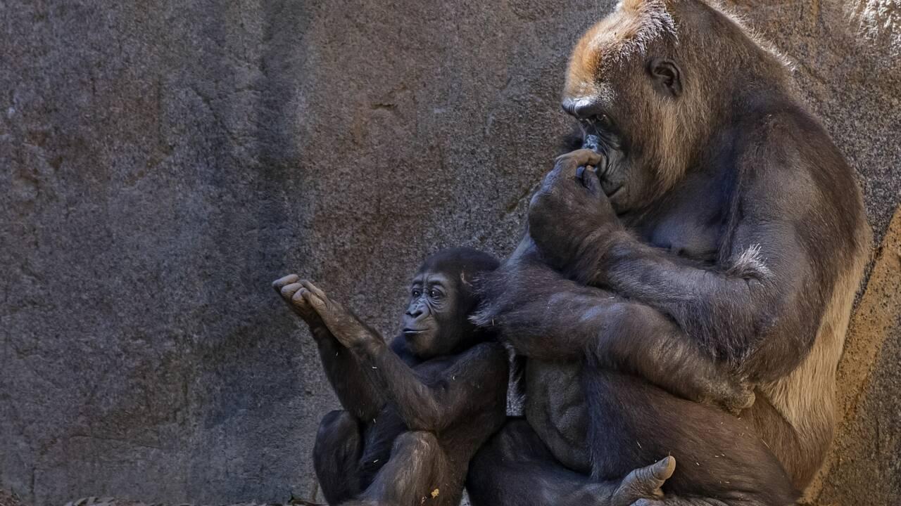 Covid-19 : des gorilles testés positifs au zoo de San Diego