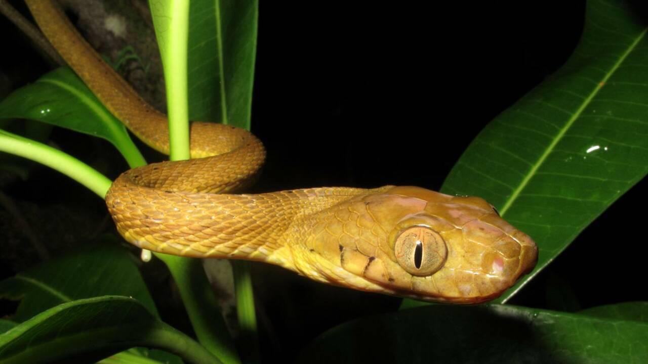 Champion de pole dance, ce serpent invasif de l'île de Guam grimpe aux arbres tel un lasso vivant