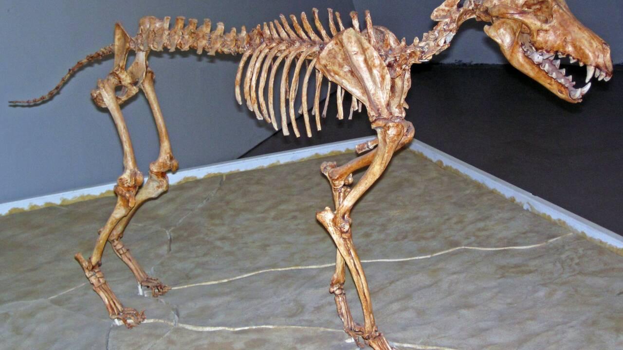"""Le """"loup terrible"""" ne serait finalement pas le loup qu'on pensait, selon son ADN"""