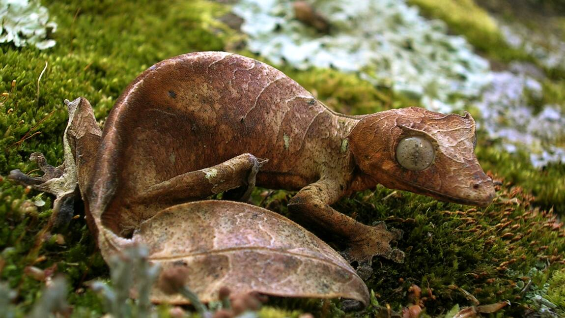 """Lézard ou feuille ? Ce """"gecko satanique"""" est passé maître dans l'art du camouflage"""