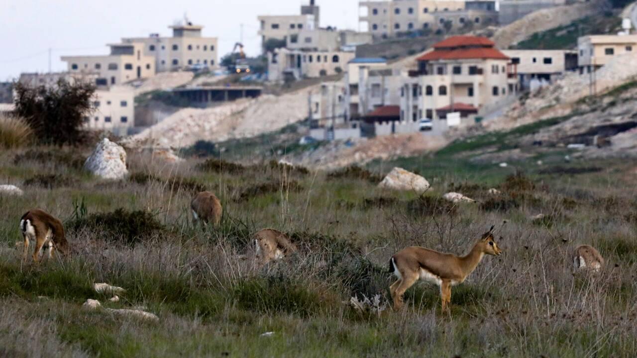 En Israël, des chercheurs veulent sauver les gazelles des montagnes menacées d'extinction