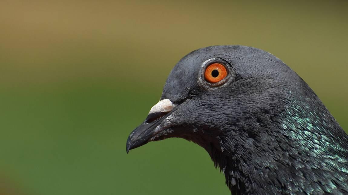 """Le pigeon """"voyageur"""" accusé d'être arrivé illégalement en Australie finalement épargné"""