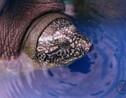Au Vietnam, une femelle redonne espoir pour la tortue la plus menacée au monde