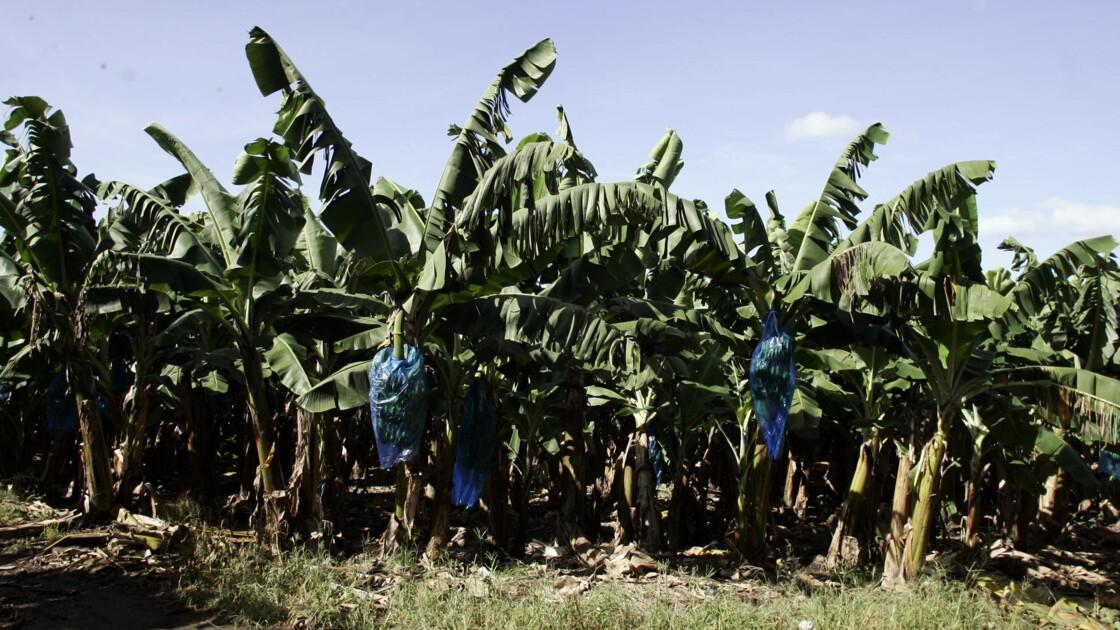 Antilles : une plainte de 2006 pour empoisonnement au chlordécone pourrait être prescrite