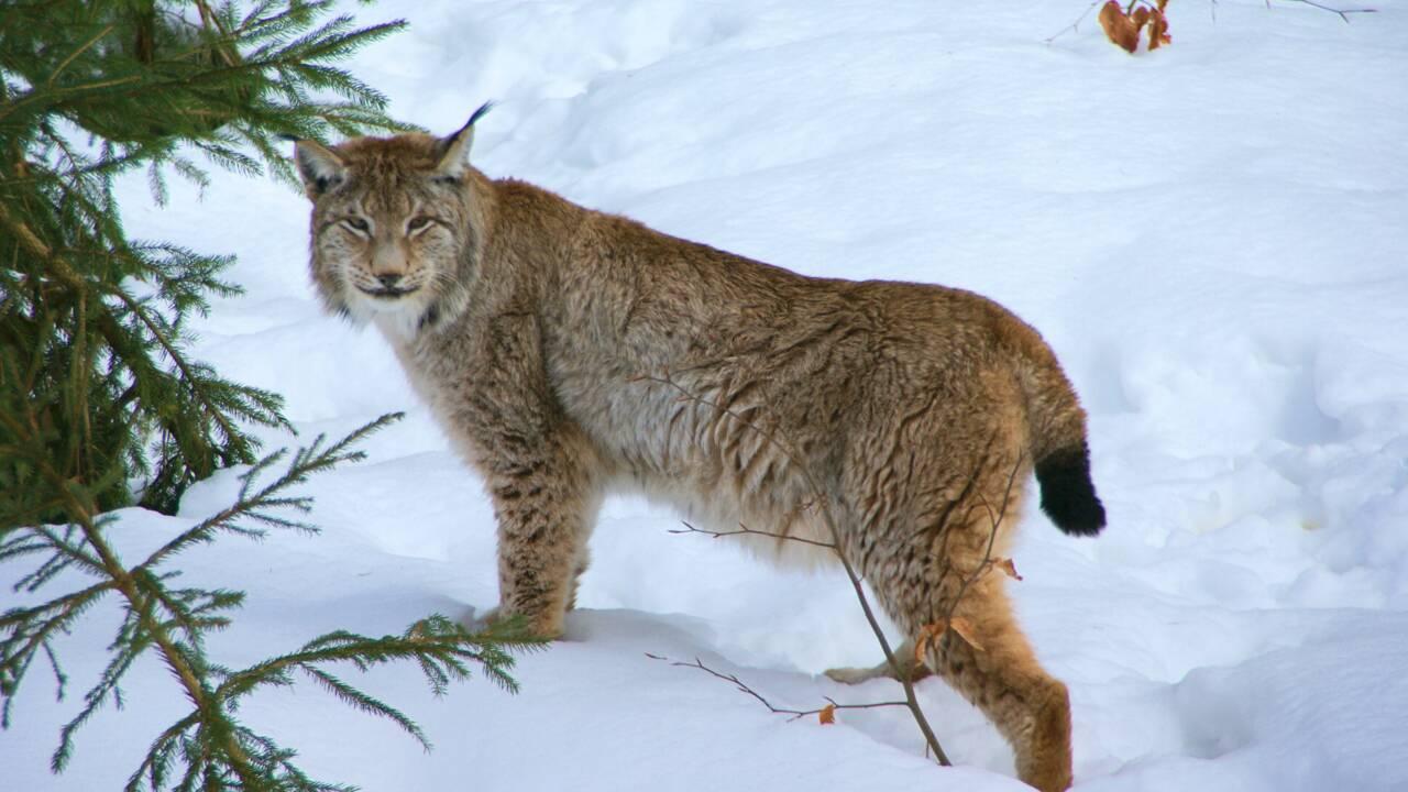 Le lynx bientôt réintroduit en Ecosse des centaines d'années après sa disparition ?