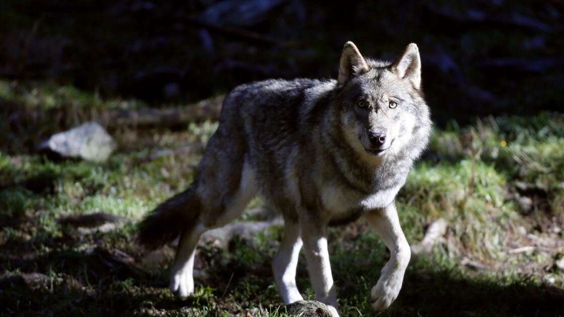 """Loups: des signes de """"dégradation de la dynamique de population"""", selon une note"""