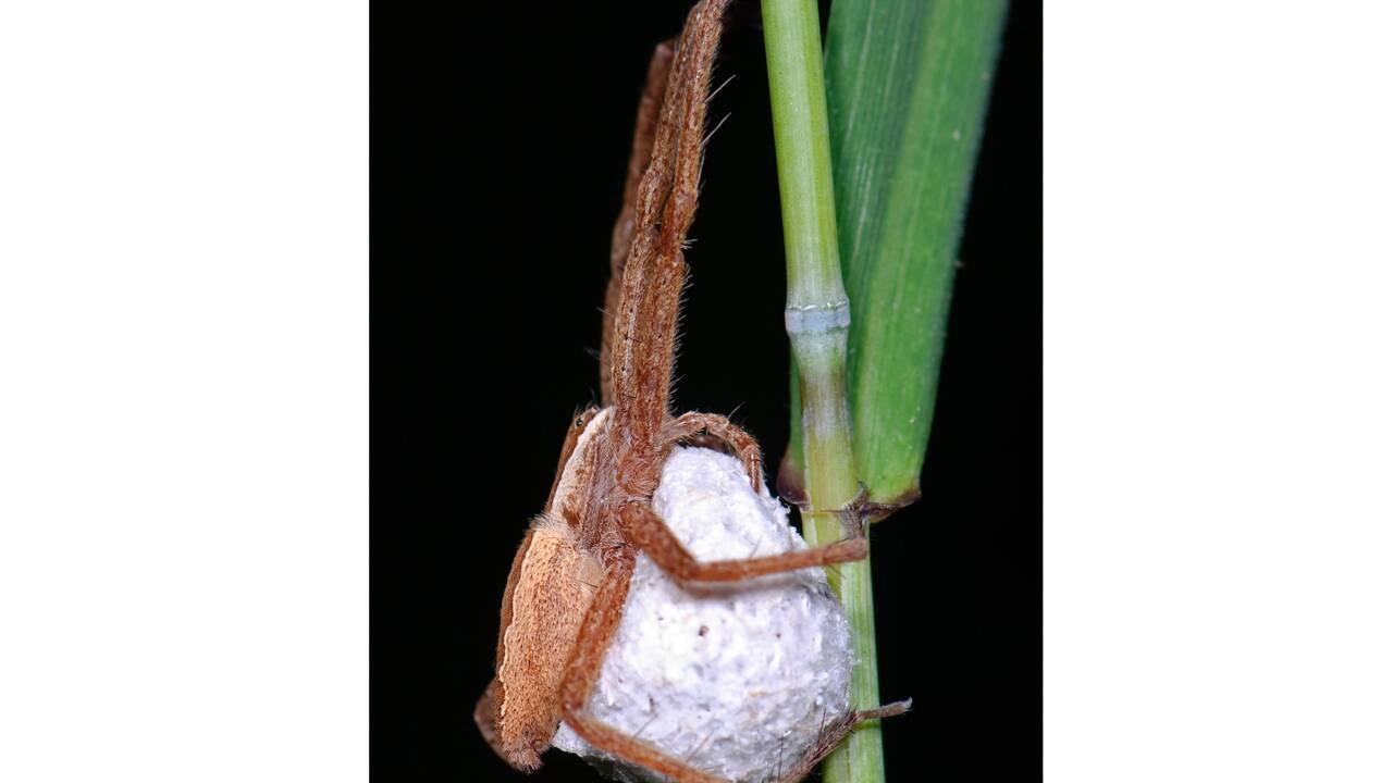 Chez cette araignée, le mâle ligote sa partenaire pour éviter d'être dévoré