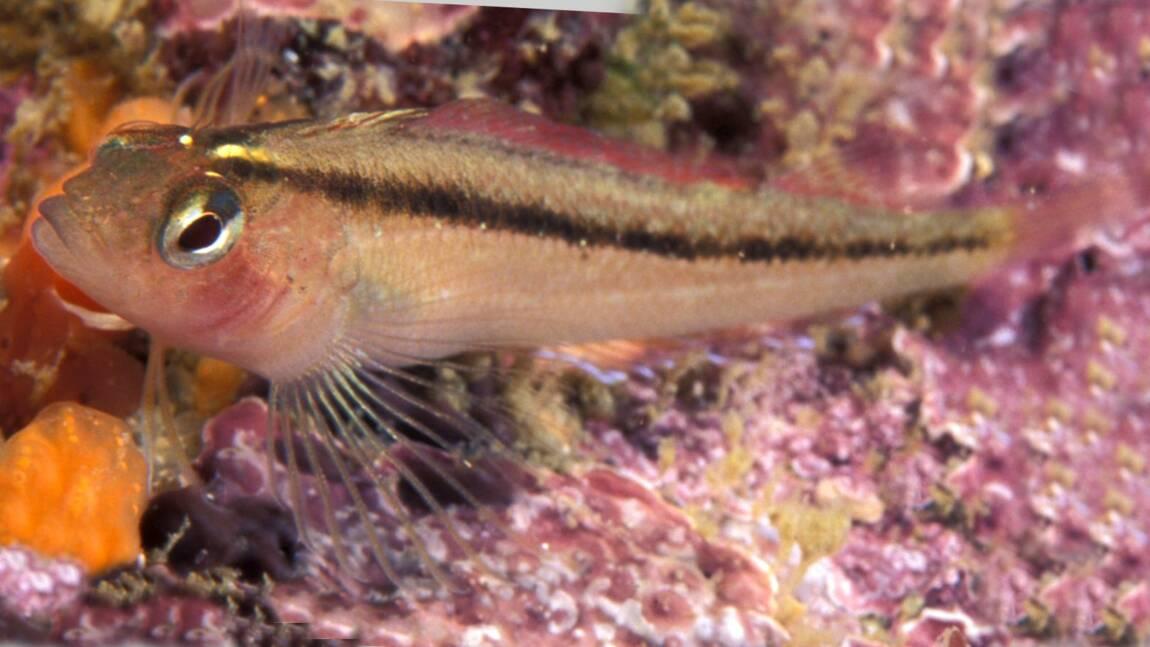 Avec des organes sexuels boostés par le CO2, voilà des poissons à qui le réchauffement climatique pourrait profiter