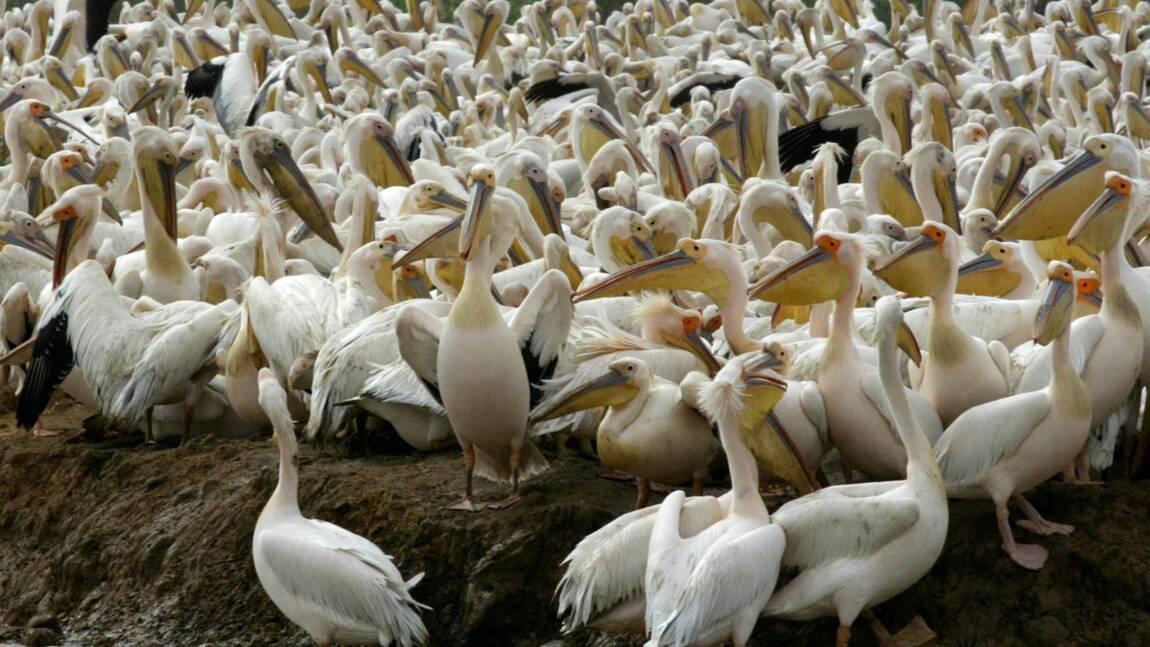 Sénégal: un grand parc ornithologique fermé au public après la mort mystérieuse de 750 pélicans