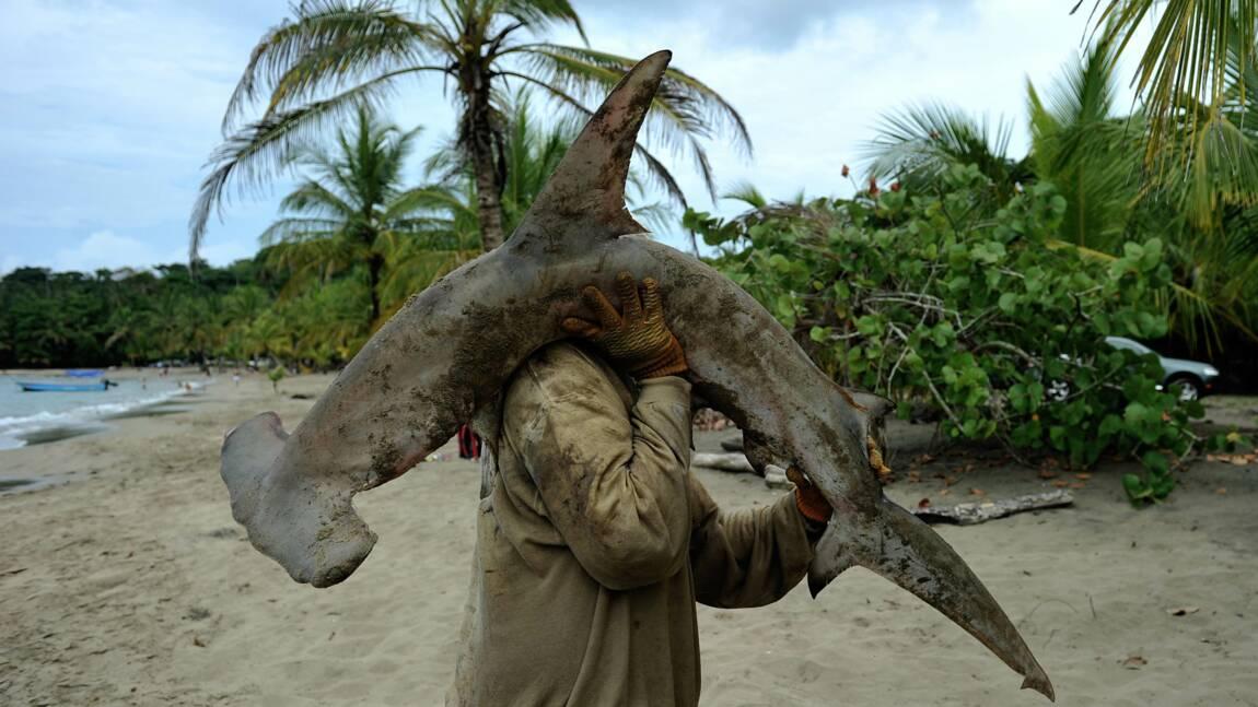 """Le déclin des populations de requins laisse un """"trou béant"""" dans la vie océanique"""