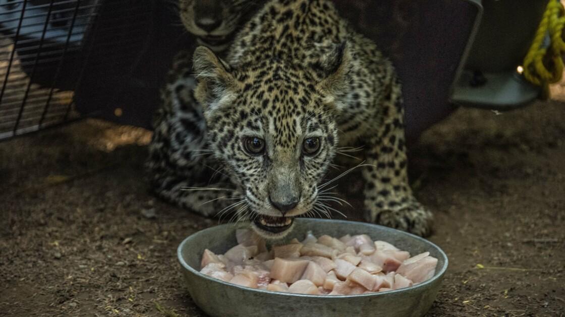 Au Nicaragua, deux bébés jaguars sauvés des trafiquants grâce aux réseaux sociaux