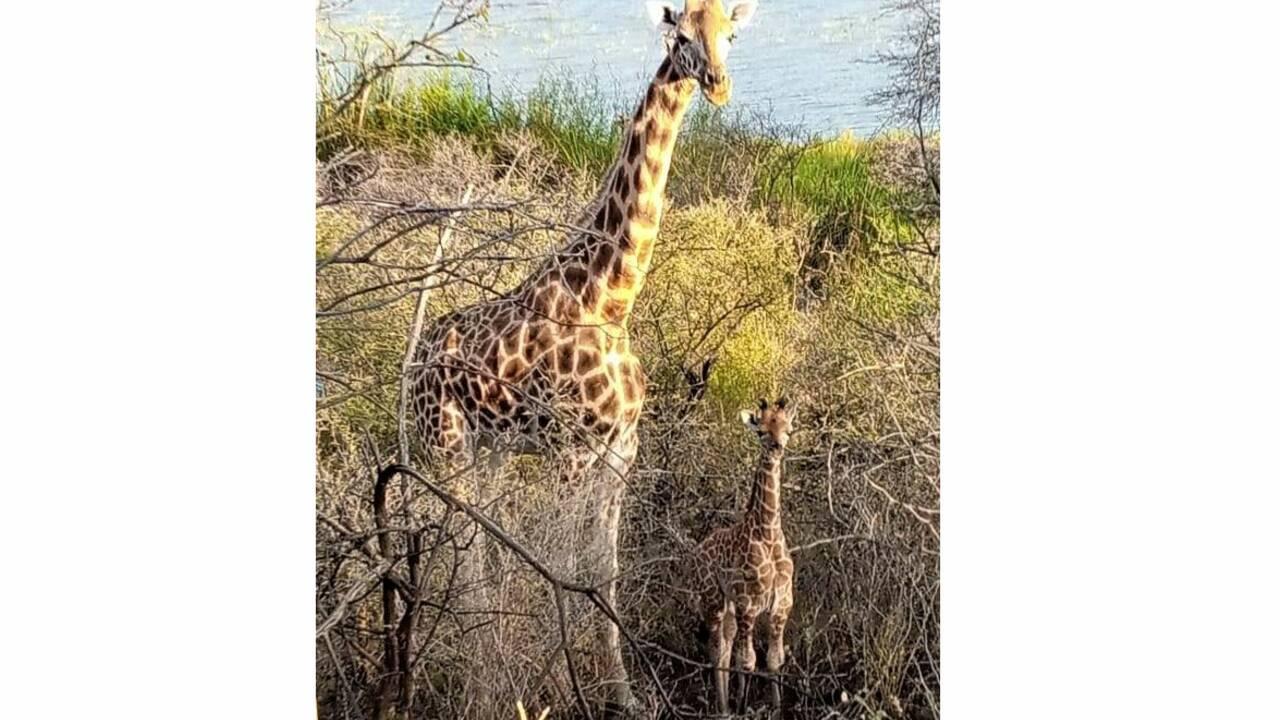 Une nouvelle girafe sauvée de l'île où elle était piégée au Kenya