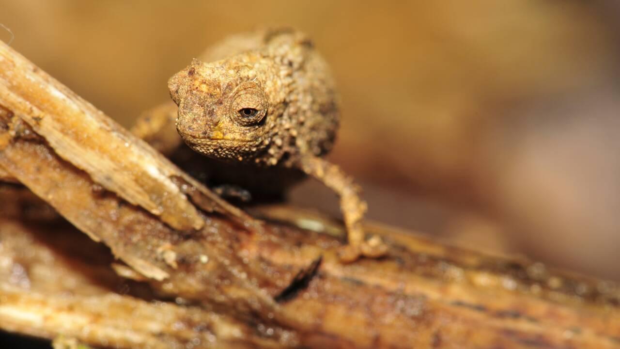 Le plus petit caméléon au monde découvert dans les forêts de Madagascar